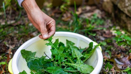 © iStock - Les feuilles de pissenlit peuvent agrémenter les salades.